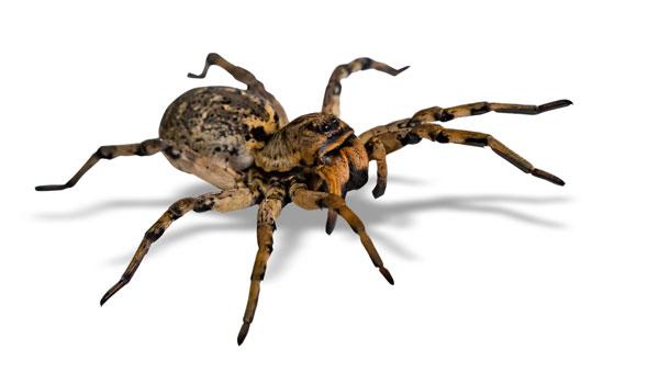 nuisipedia-araignee
