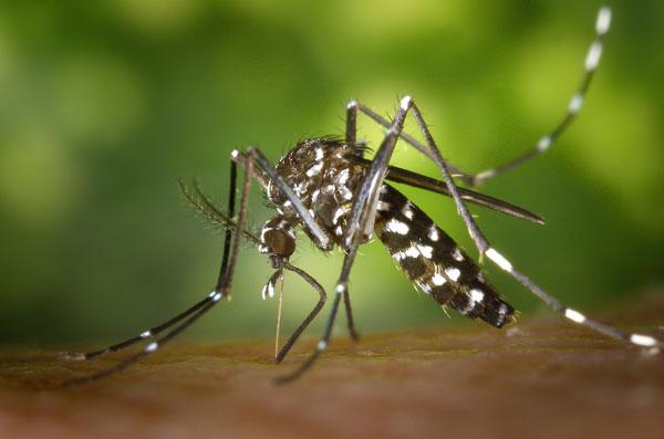 moustique control