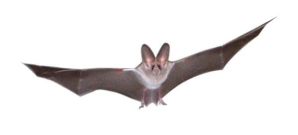 nuisipedia-chauvesouris