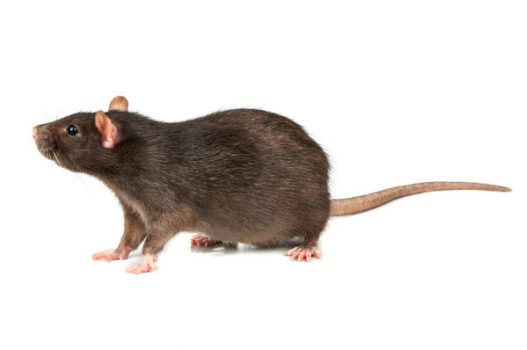 nuisipedia-rat
